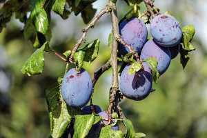 frutto lassativo